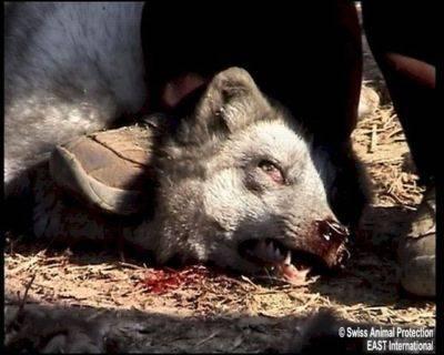 La mayoría de los animales son despellejados vivos